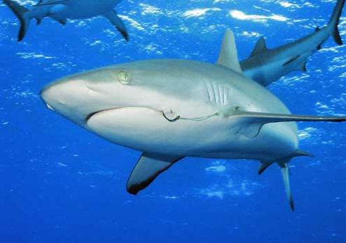 В Египте поймали акулу, напавшую на туристов.