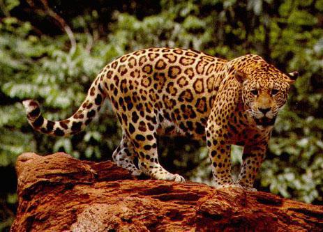 Животных джунглей и тропических лесов
