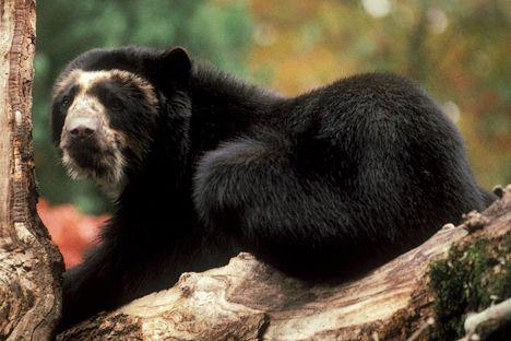 Очковый медведь - единственный представитель семейства медвежьих в Южной...
