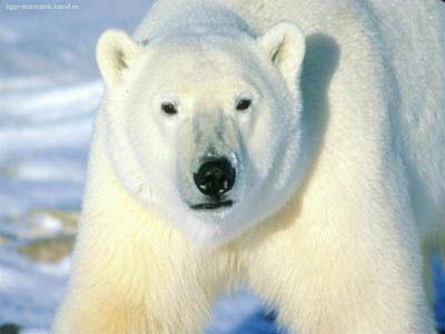 Фотография медведя.
