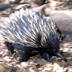 ...echidnas are the world's only monotremes, or egg-laying mammals.