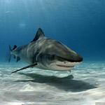 Укус акулы.  Пловец, атакованный ошейниковой ковровой акулой...