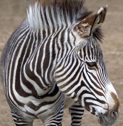 Зебры лишены рогов и иных средств